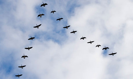 http://coachgrabowski.files.wordpress.com/2013/08/geese-in-v-formation-008.jpg